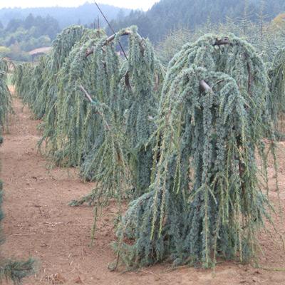 Reimer Nursery Oregon Whole Tree