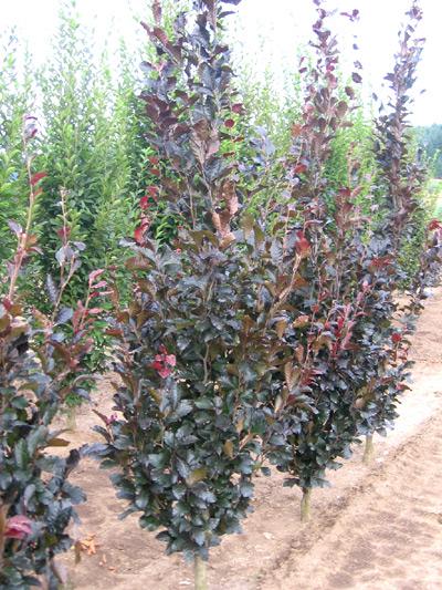 Us Sylvatica Purple Dawyki Columnar Beech